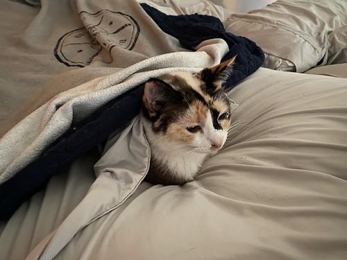 Bedcat
