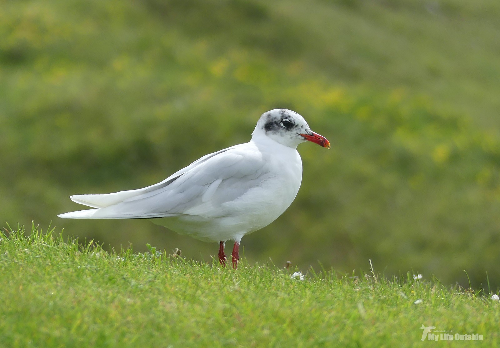 P1240475 - Mediterranean Gull, Bracelet Bay