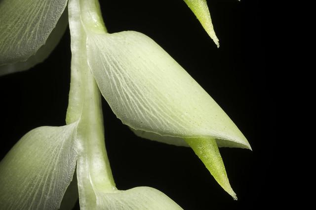 Dendrochilum latifolium Lindl., Edwards's Bot. Reg. 29(Misc.): 56 (1843)