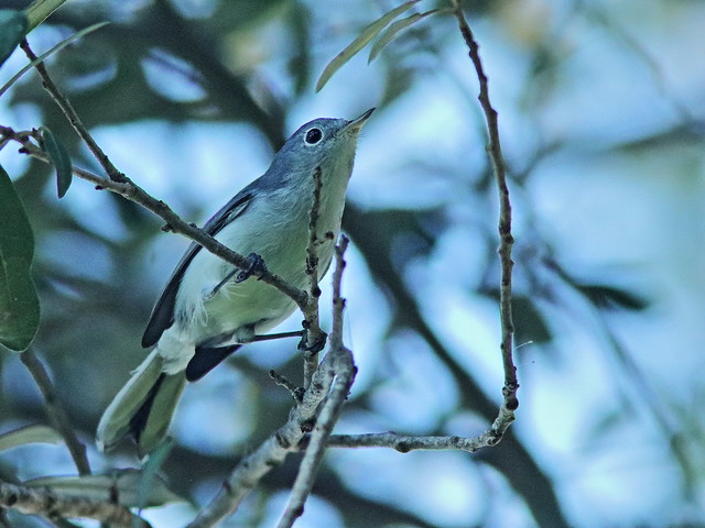 Blue-gray Gnatcatcher 02-20200811