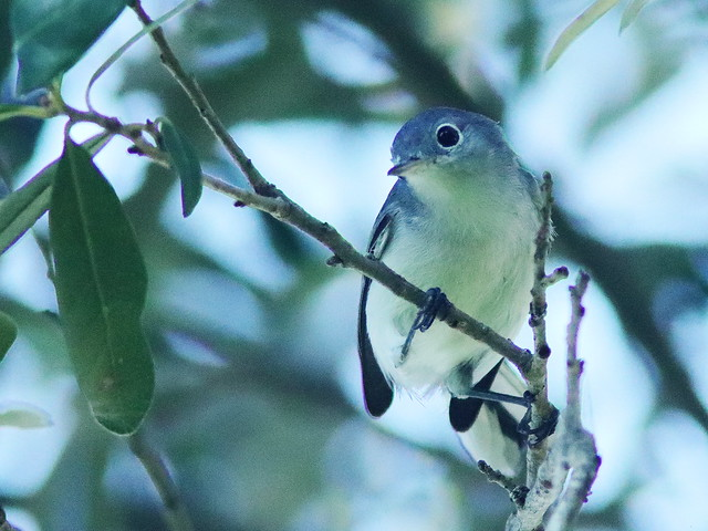 Blue-gray Gnatcatcher 01-20200811