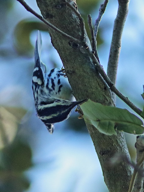 Black-and-White Warbler 05-20200811