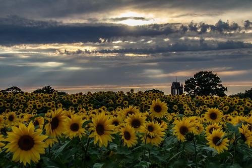 sunflower sunflowers sunset cloud sky landscape nature birmingham birminghamuk uk greatbritain canon canoneos canon80d canonuk sunlight