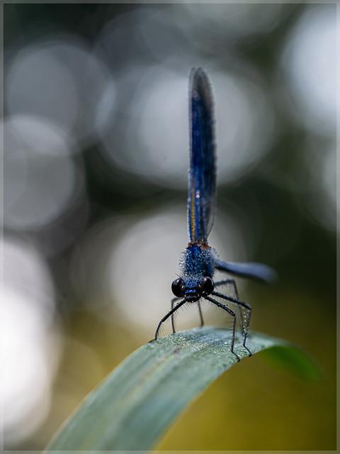 Calopterygidae_94953