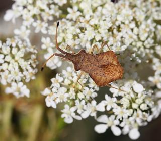Rhombic Leatherbug