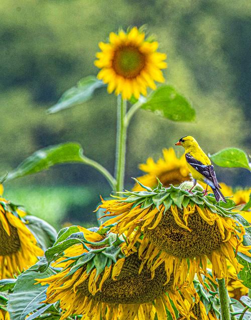 goldfinch on sunflower-2