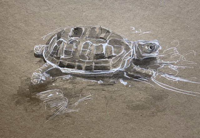 Black and white Gouache brush sketch of my Grandson's Tortoise today, on recycled card, by jmsw.