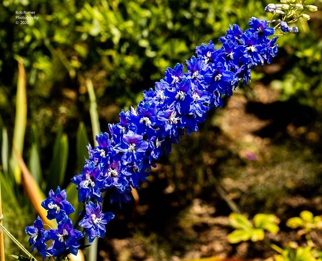Delphinium Blue Bird.
