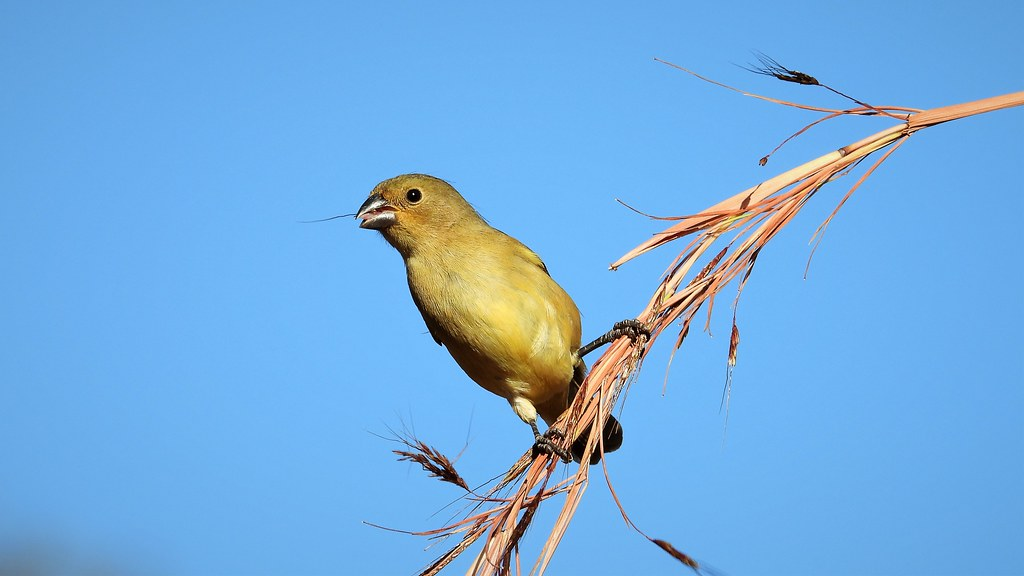 Bico-de-prata - Yellow-bellied Seedeater