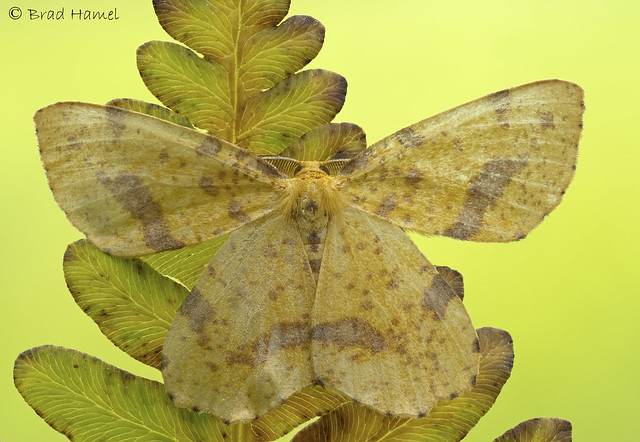 A crocus moth blending in with an older fern.