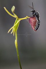 Hammer orchid pollination