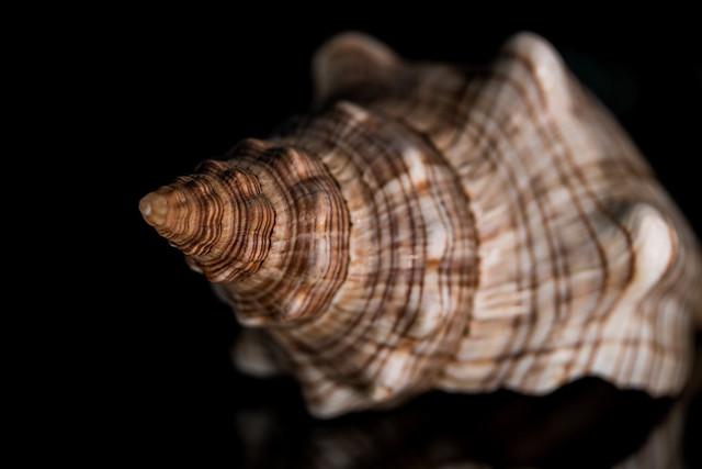 Trapezium horse conch (Pleuroploca trapezium)