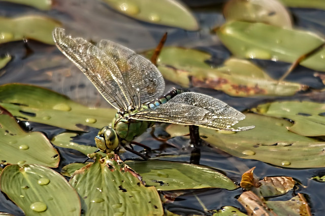 Emperor Dragonfly (F) Ovipostulating