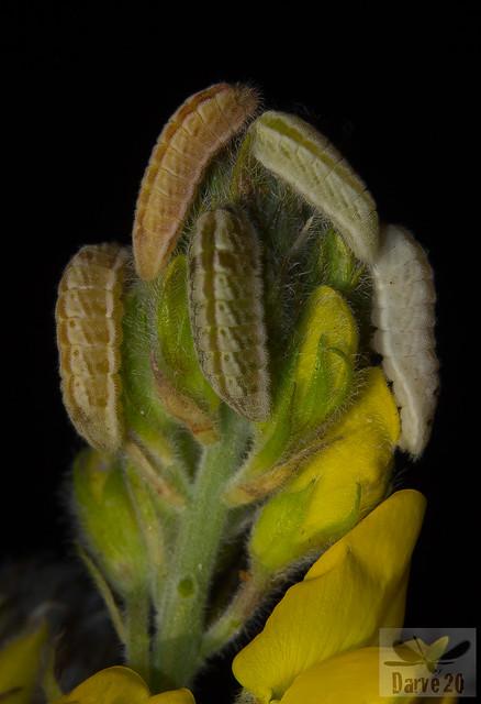Manto de Canarias - Leptotes webbianus grancanariensis