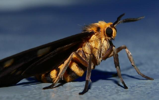 FRESHLY HATCHED Orange and black tiger moth Eressa sp aff angustipenna Arctiidae Mandalay rainforest Airlie Beach P1000709