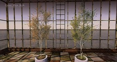 The Litte Branch - Potted White Birch - Equal10