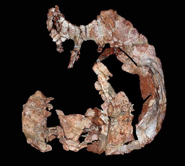 Una tortuga que habitó suelo sanjuanino hace 205 millones de años es el nuevo descubrimiento de paleontólogos locales