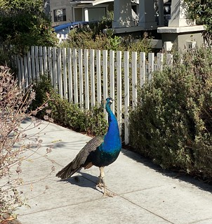 peacock on a stroll | by eoshea