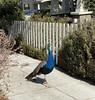 peacock on a stroll
