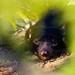 Ďábel medvědovitý (Sarcophilus harrisii)