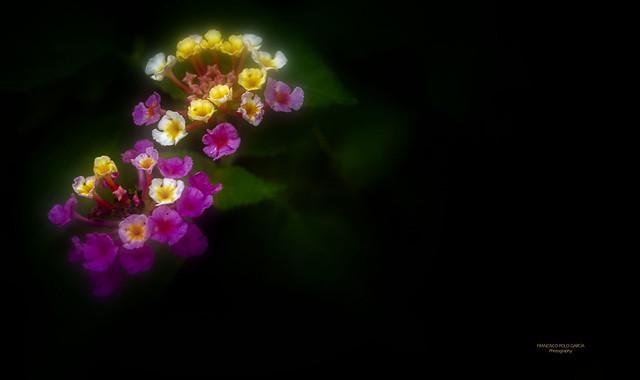 Flor de Lantana