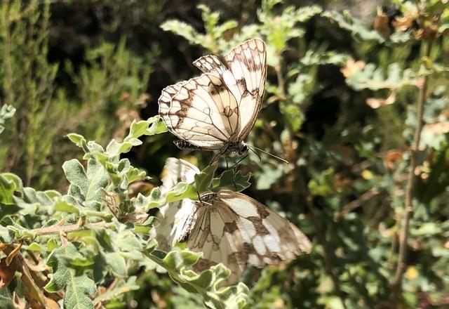 Mariposas en Los Ancares leoneses