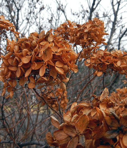 Dying Hydrangea in the late autumn