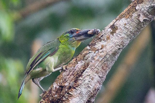 Red-throated Barbet  -female