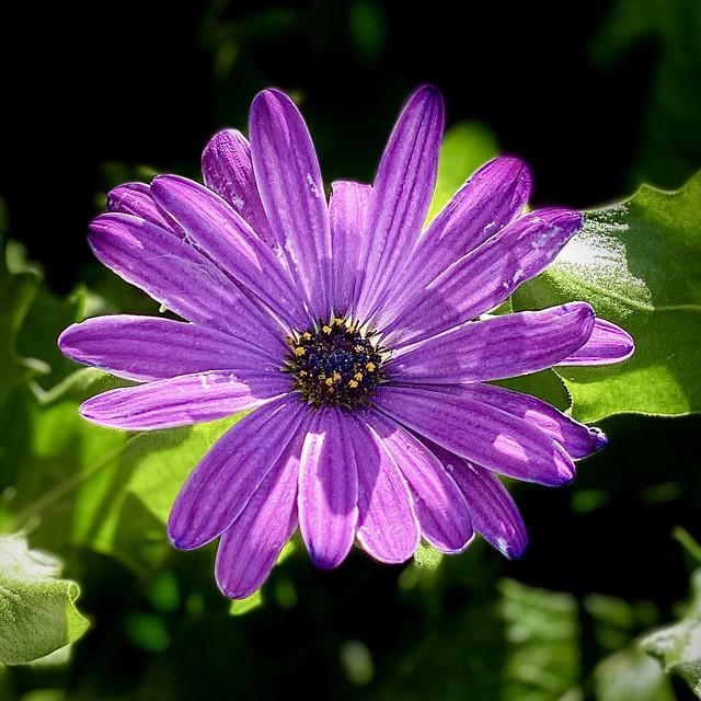 Dreamy Purple Daisy