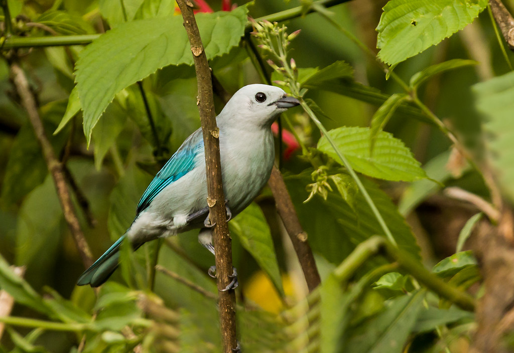 0P7A8560  Blue-gray Tanager, Panama