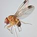 Flickr photo 'Drosophila suzukii (Matsumura, 1931)' by: Biological Museum, Lund University: Entomology.