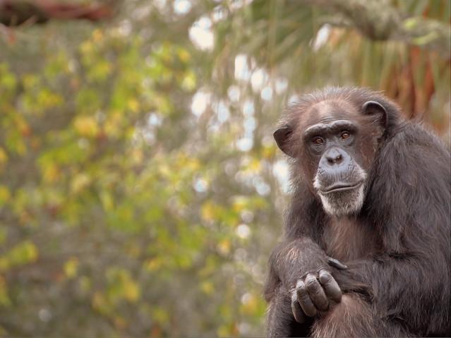 Chimp in Tampa