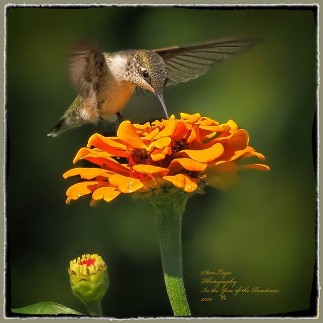 Hummingbird on Zinnia