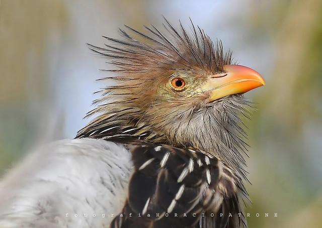 -PIRINCHO  (Guira guira - Guira Cuckoo ) toma en reserva costanera sur RECS.! Argentina