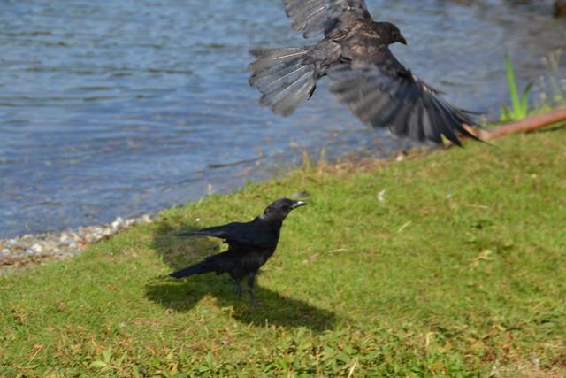 crows at Seward Park DSC_0552
