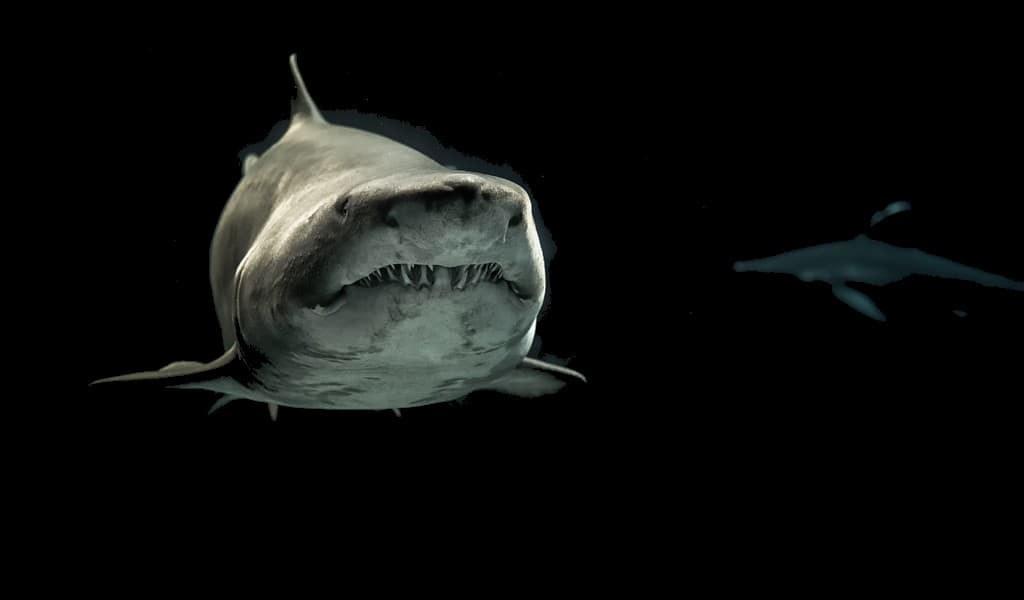 Le requin gris reste avec ses amis pendant des années