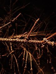 dark pine branch