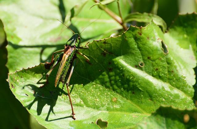 Jachenau - Grasshopper