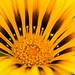 Yellow Gazania, 4.10.17