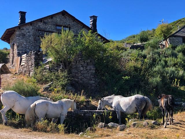 Caballos bebiendo agua en Campo del Agua (Ancares leoneses, El Bierzo)