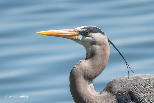 Great Blue Heron 502_4986.jpg
