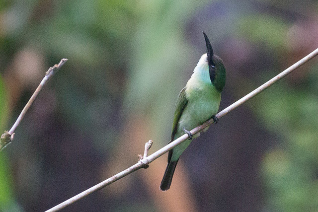 Blue-throated Bee-eater  - juvenile
