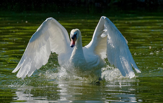 Mute Swan in action (2/2)