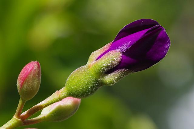 Melastoma candidum flower