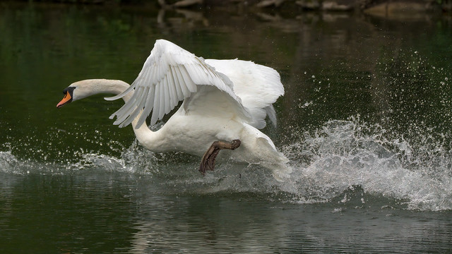Mute Swan in action (1/2)