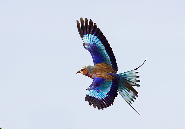 Lilac-Breasted Roller BIF