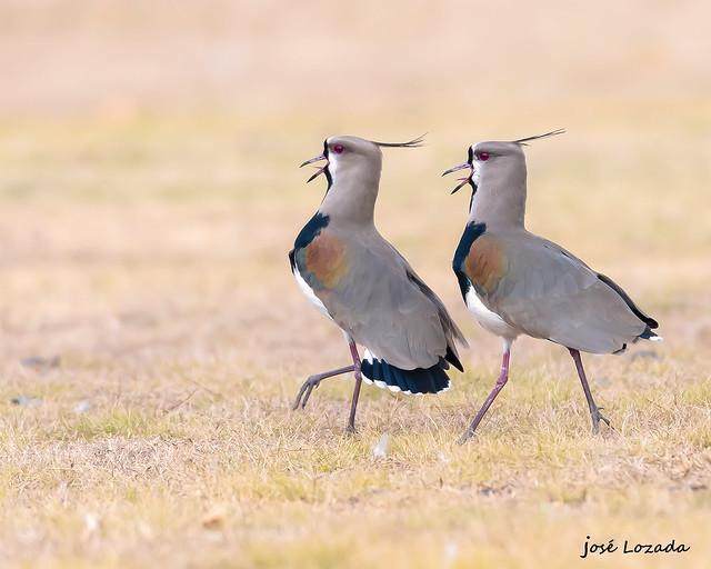 El baile del tero común !!!! Da la impresión que estaban bailando esta pareja de teros!! Córdoba !!