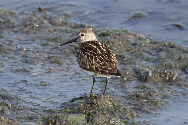Dunlin on watch duty