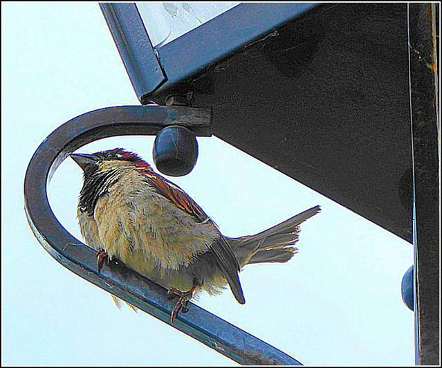 Little Sparrow ..