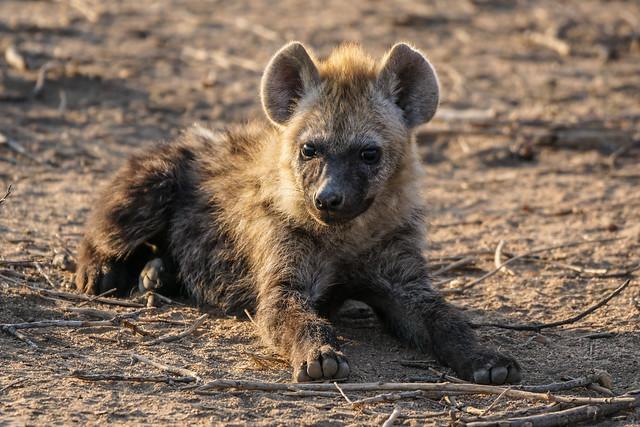 cute Hyena cub at dawn